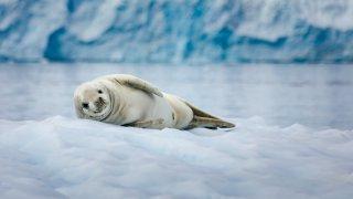 phoque crabier - antarctique