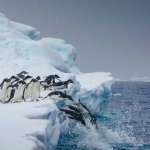 antarctique manchots