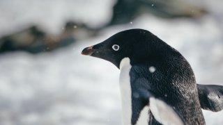manchot adélie - shetland du sud
