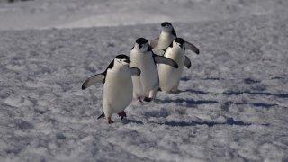 antarctique manchots