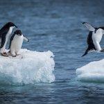manchots d'Adélie - voyage antarctique