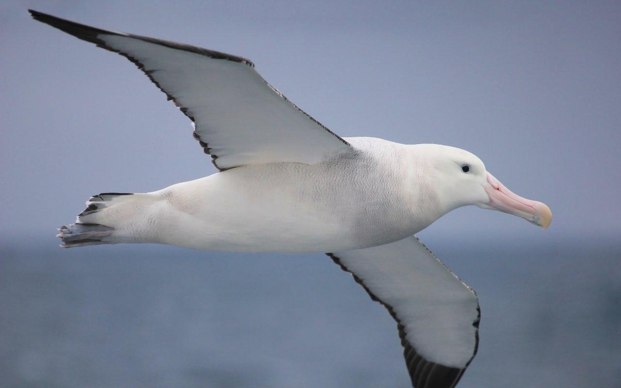 albatros - antarctique