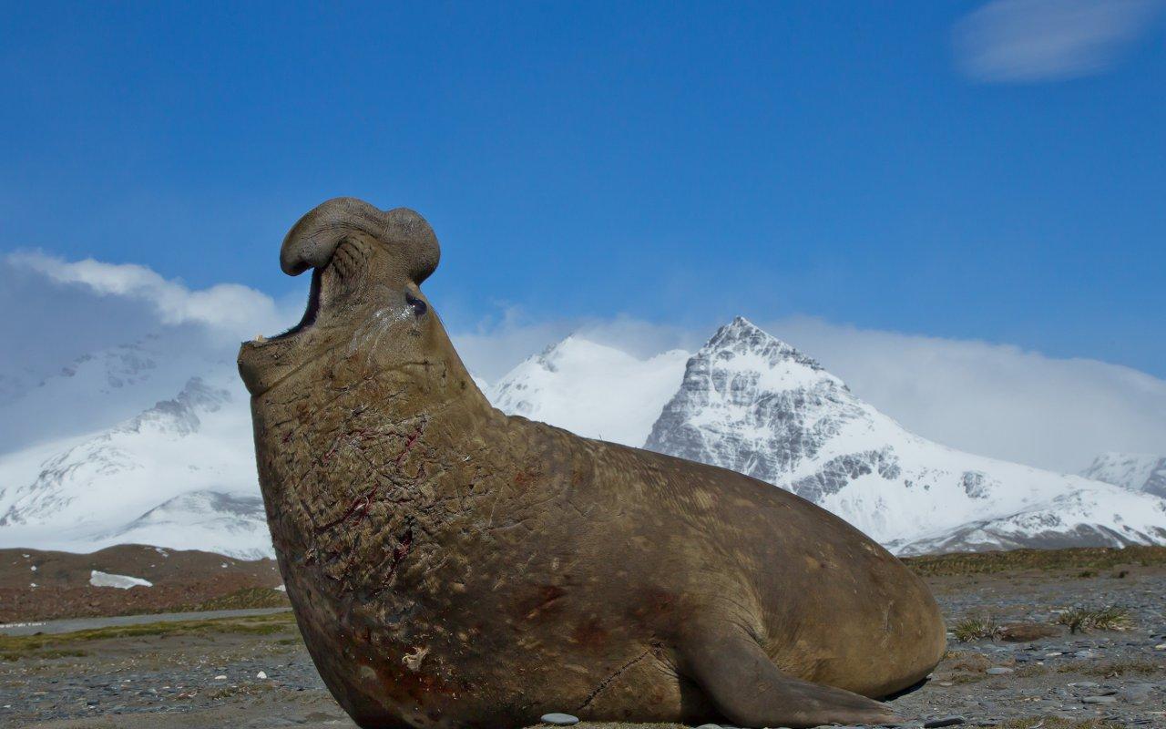 antarctique éléphant de mer
