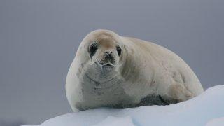 phoque crabier - voyage antarctique découverte - terra antarctica