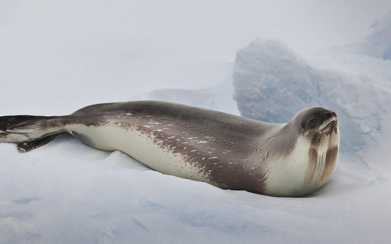 phoque de ross - antarctique