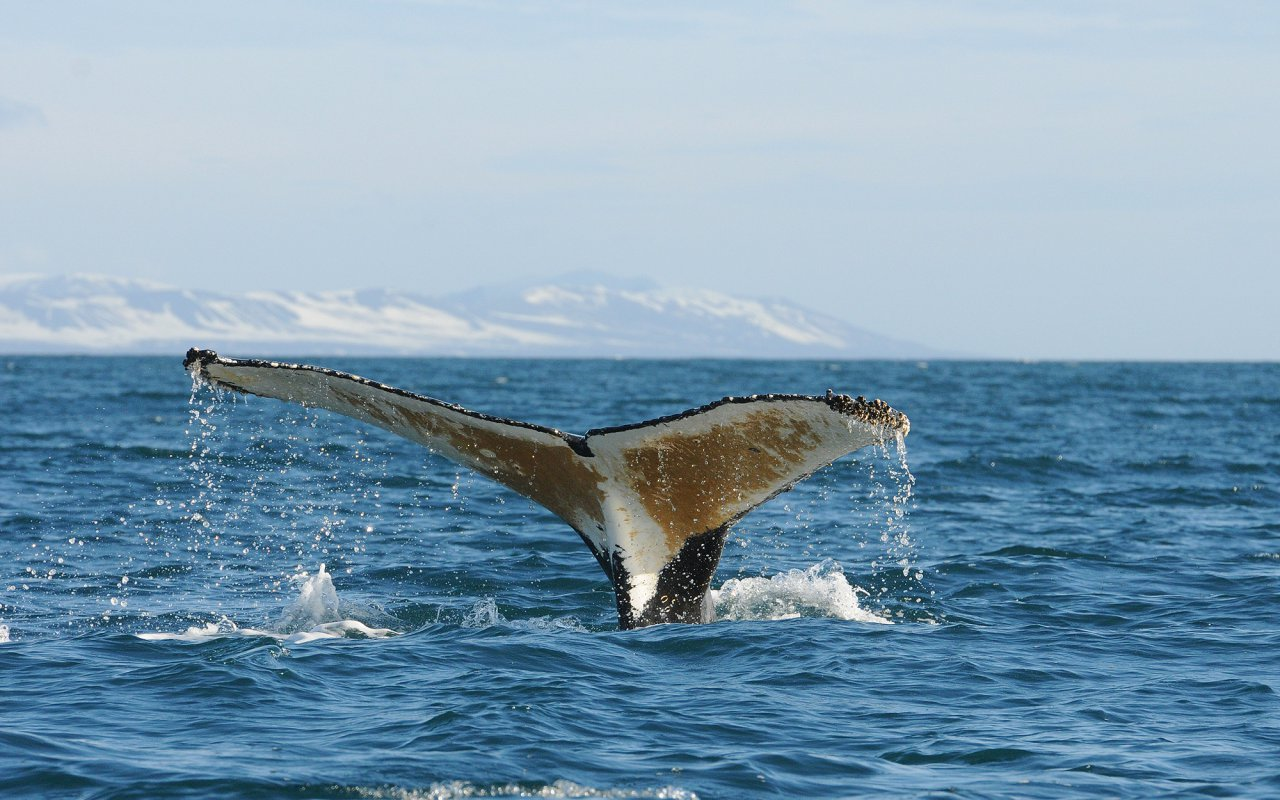 baleine antarctique