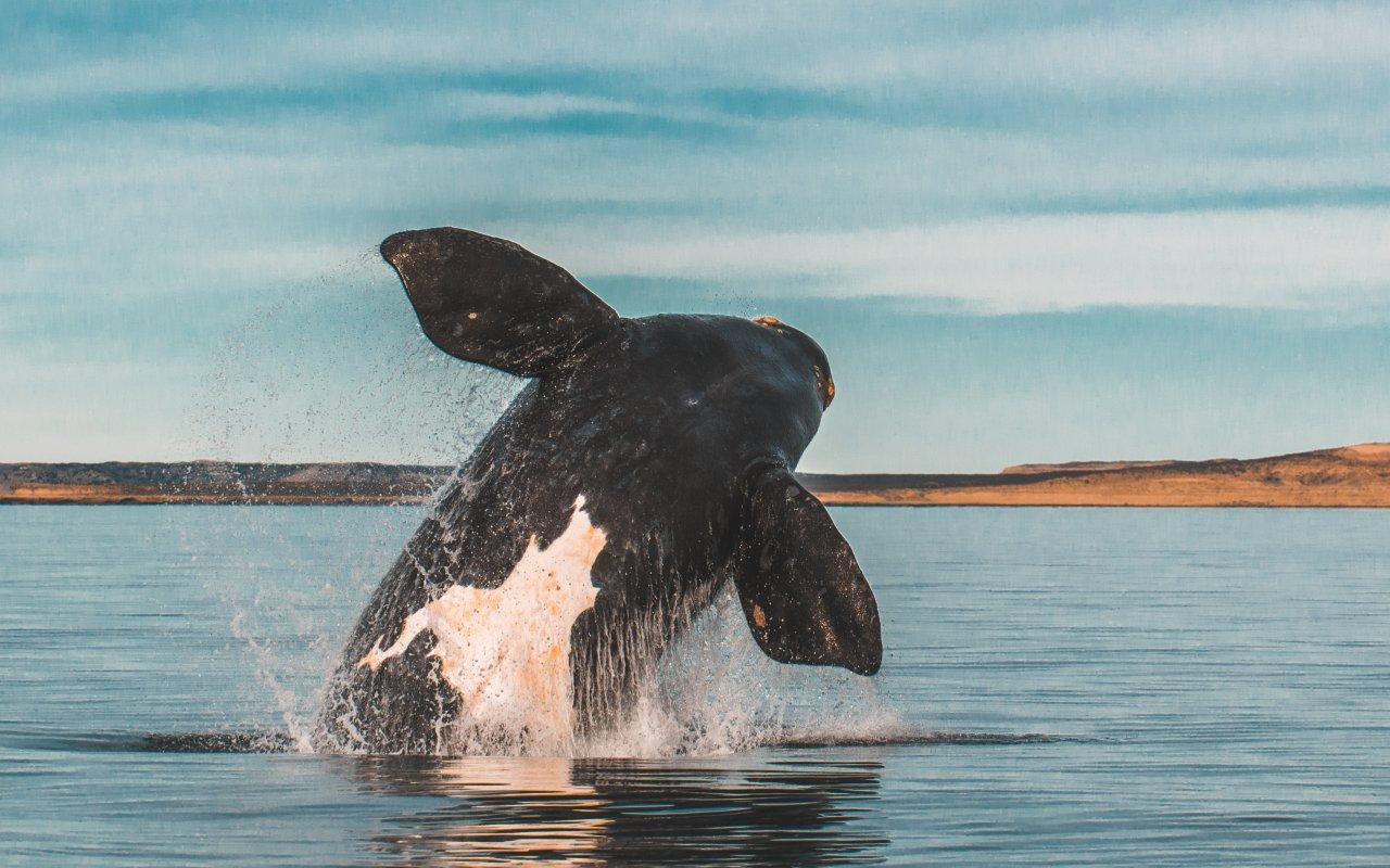 baleine australe