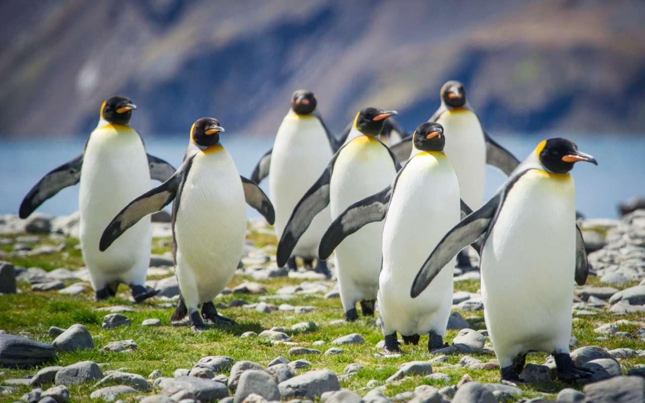 manchots empereurs de bellingshausen - croisière antarctique