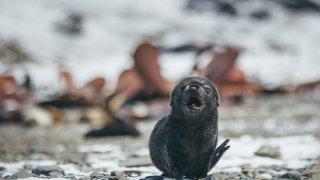 otarie à fourrure - antarctique