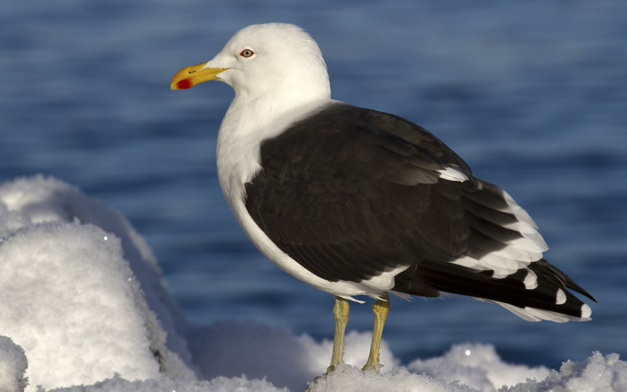 goéland dominicain antarctique