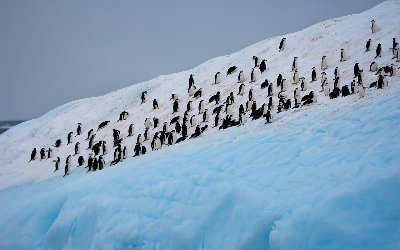 iles orcades du sud - manchots à jugulaires - antarctique