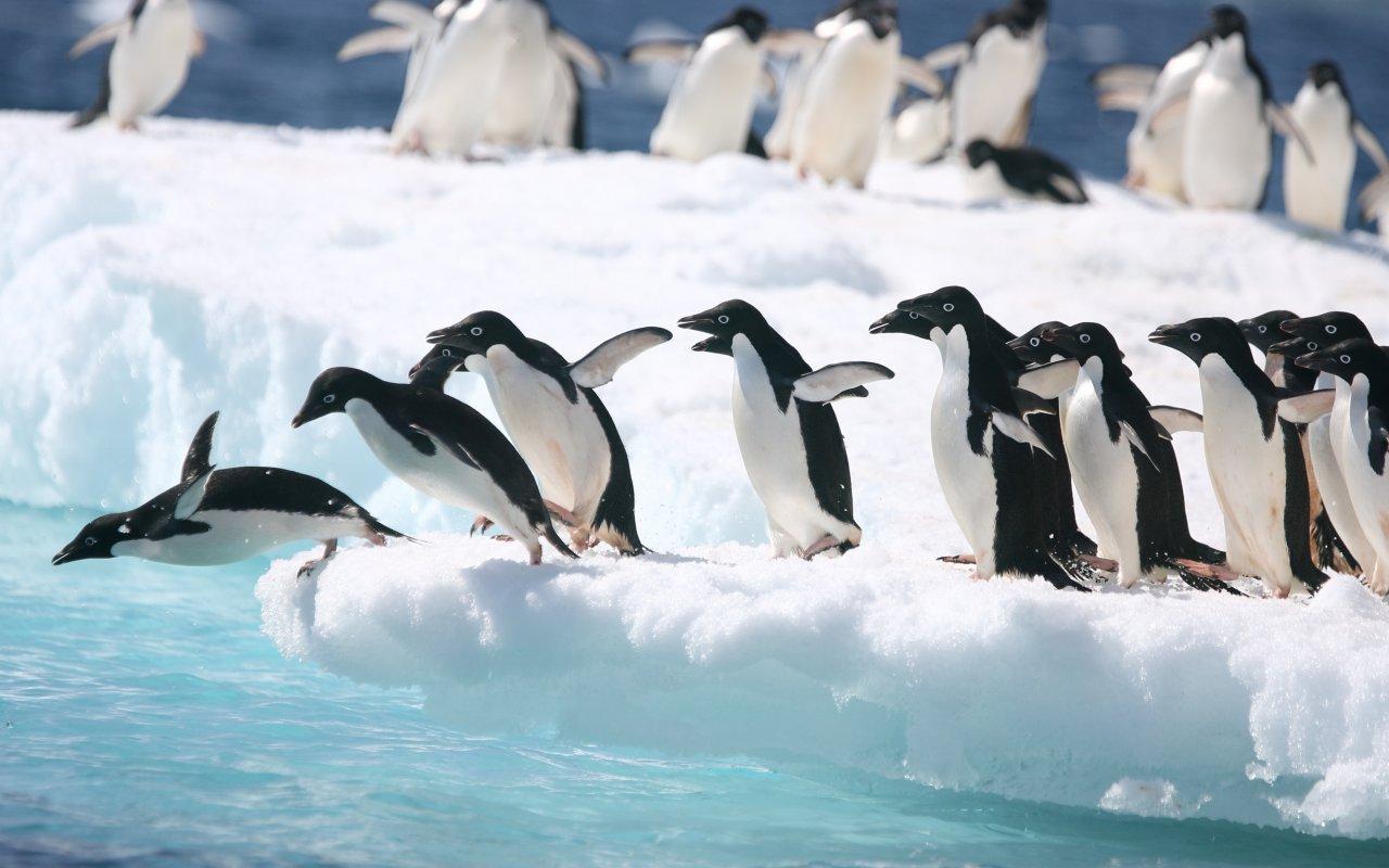manchot adélie antarctique - contact terra antarctica