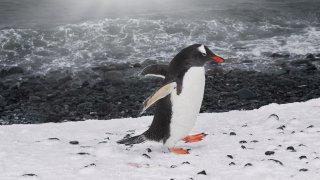 manchot - shetland du sud - voyage antarctique
