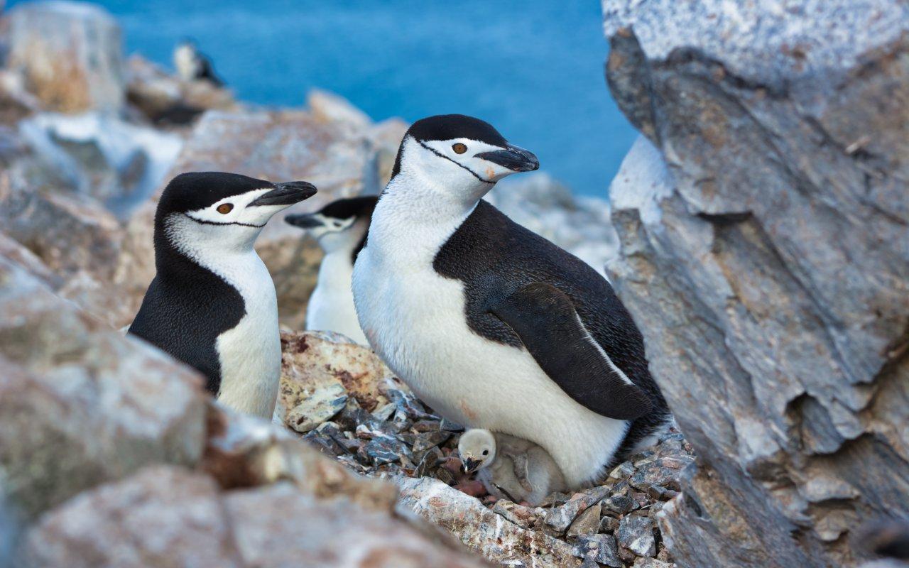 manchots à jugulaire antarctique - la vie en antarctique