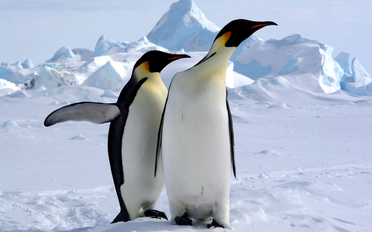 manchots empereurs antarctique - faune et flore - terra antarctica