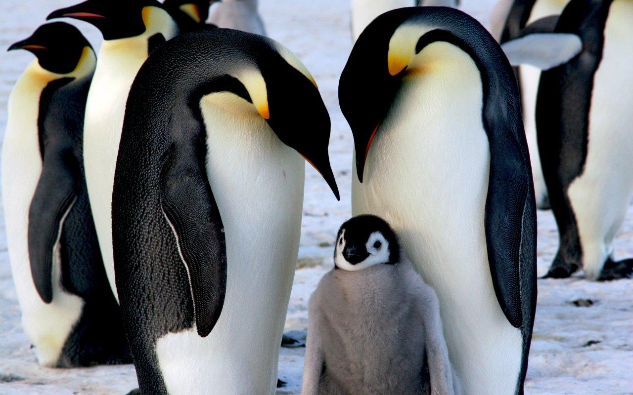 manchots empereurs antarctique