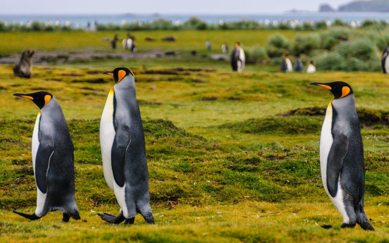 manchots royaux - georgie du sud - croisieres antarctique - terra antarctica