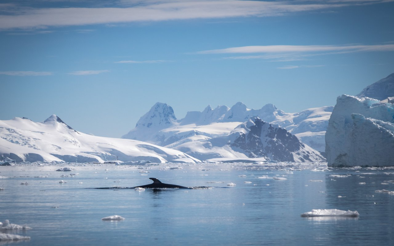 baleine de minke antarctique - terra antarctica - les cétacés en antarctique