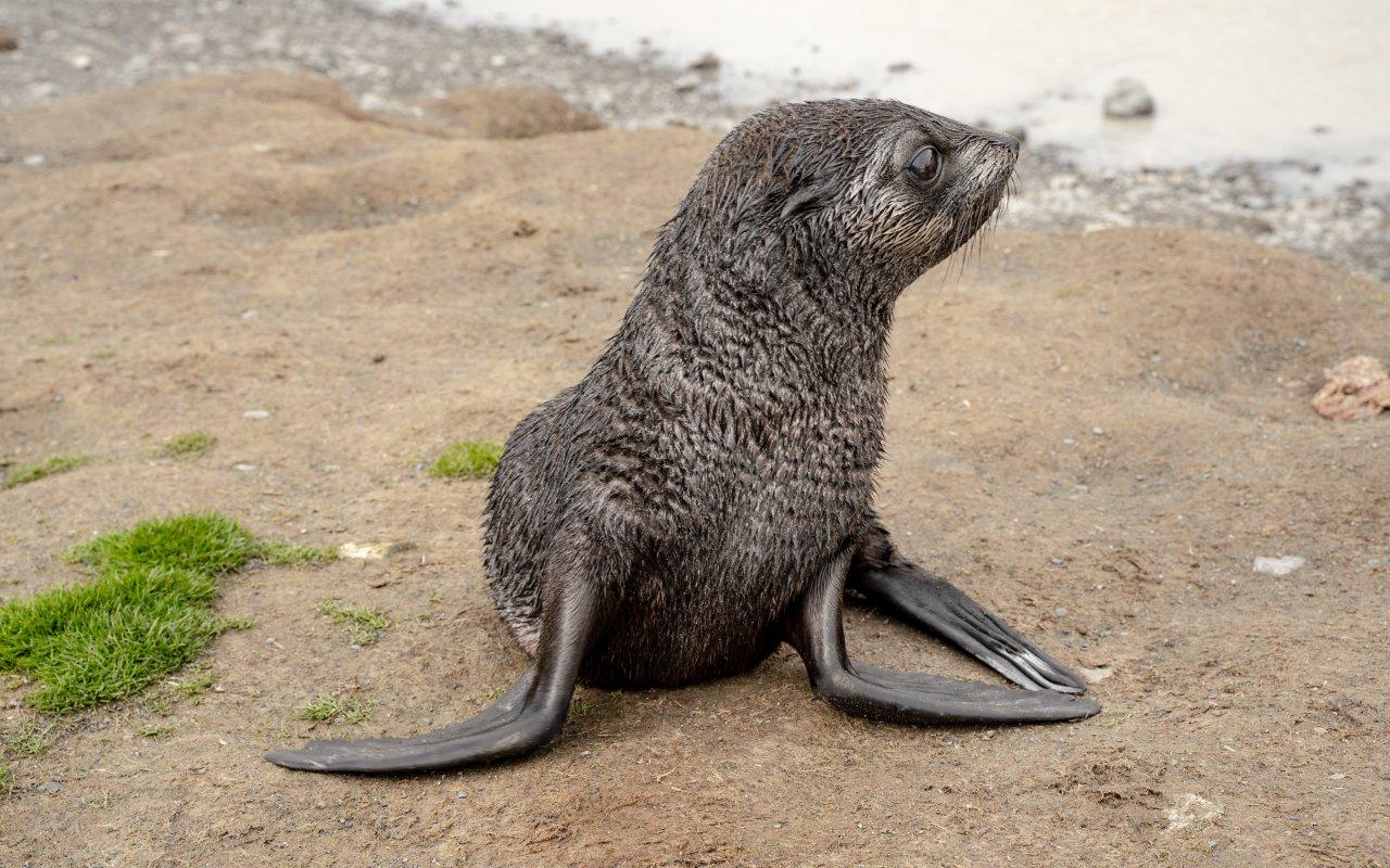 otarie à fourrure - iles sandwich du sud - croisieres antarctique