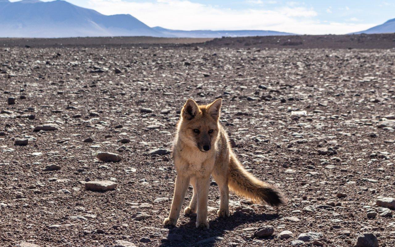 renard de magellan