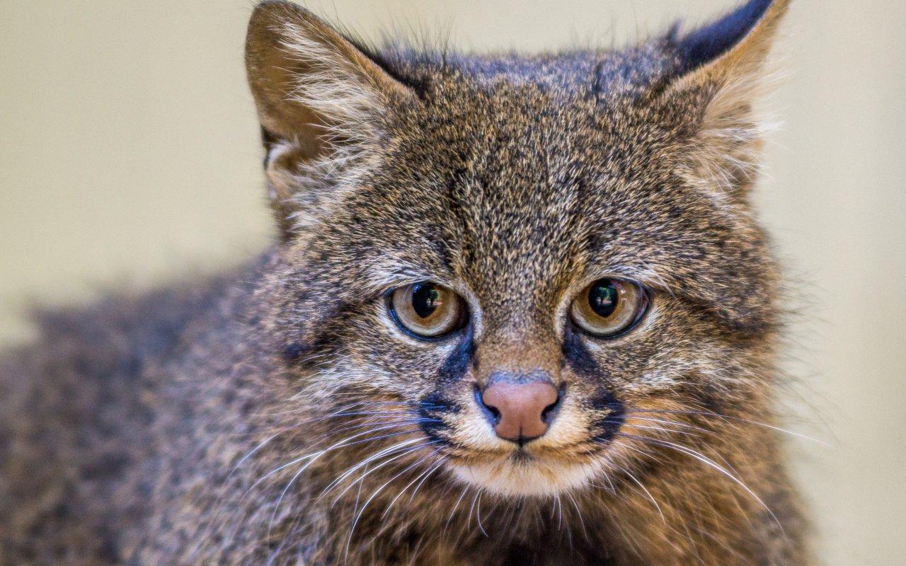 chat des pampas - patagonie