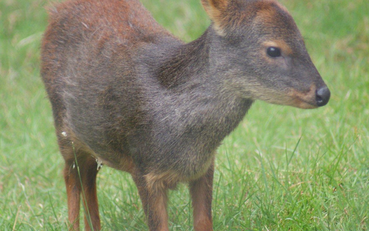 pudu de patagonie