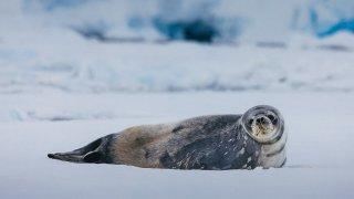 Phoque crabier, Antarctique