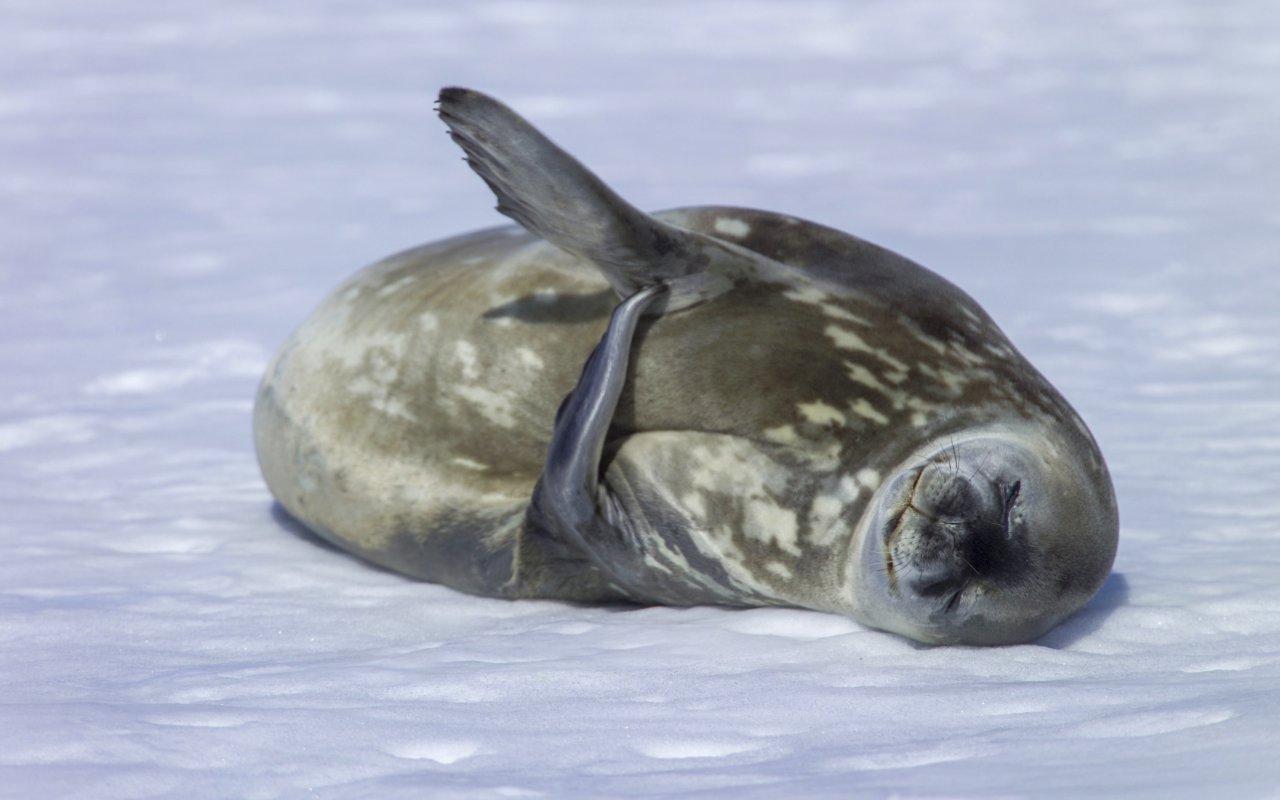 phoque de weddell - ile de ross, antarctique - chasseurs de phoques