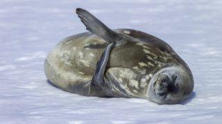 Les chasseurs de phoques