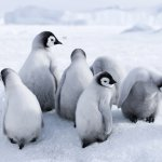 manchots antarctique